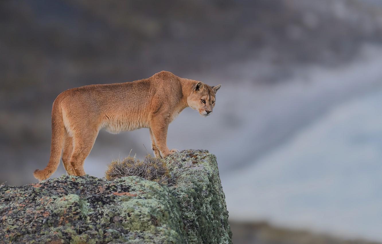 Wallpaper Background Stone Wild Cat Puma Mountain Lion Images