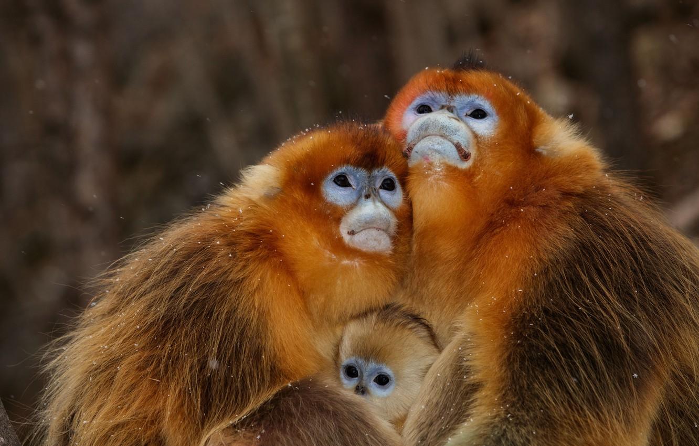 Photo wallpaper monkey, monkey, family, monkeys