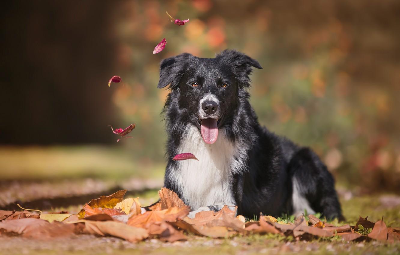 Photo wallpaper autumn, language, look, leaves, dog, bokeh, The border collie