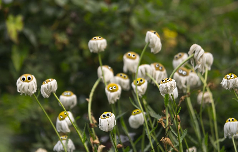 Photo wallpaper chamomile, eyes, petals