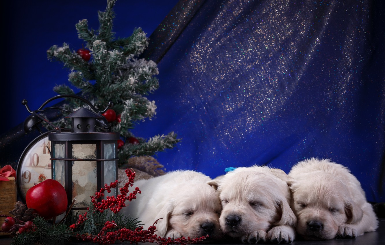 Photo wallpaper puppies, New year, white, trio, Retriever