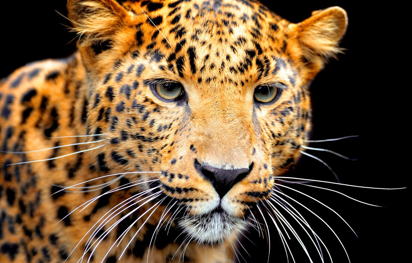 Photo wallpaper mustache, face, predator, Jaguar, black background, bokeh