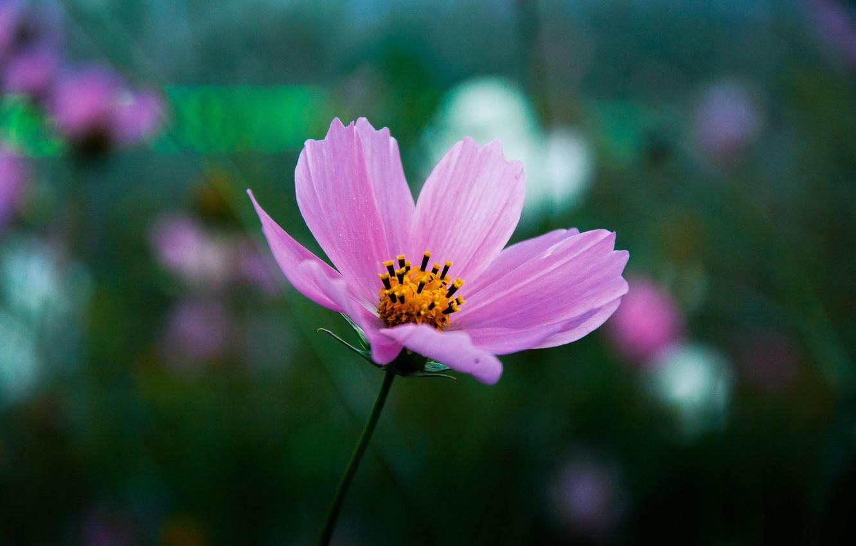Photo wallpaper flower, nature, tenderness, stem, Ural