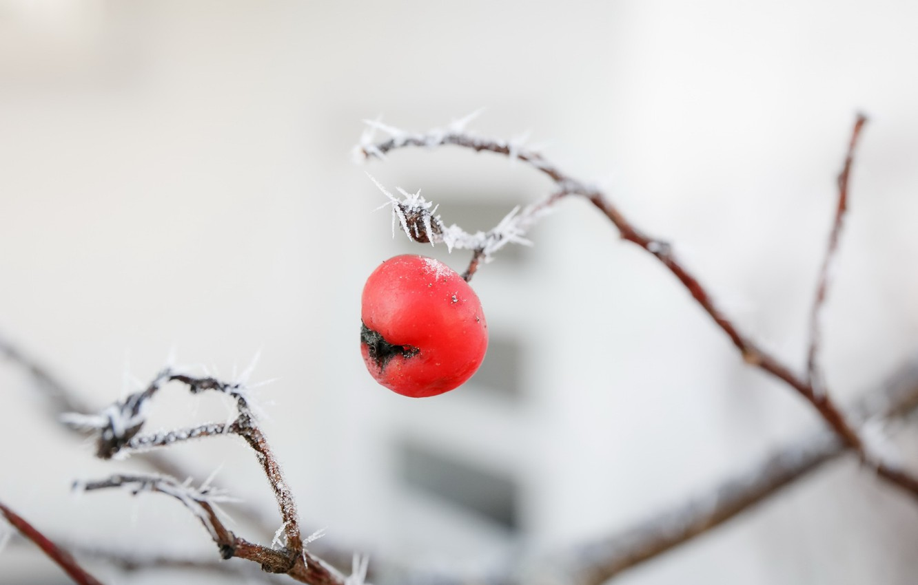 Photo wallpaper frost, nature, Apple, branch