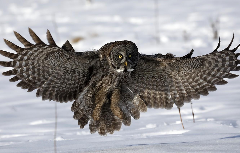 Photo wallpaper snow, owl, wings