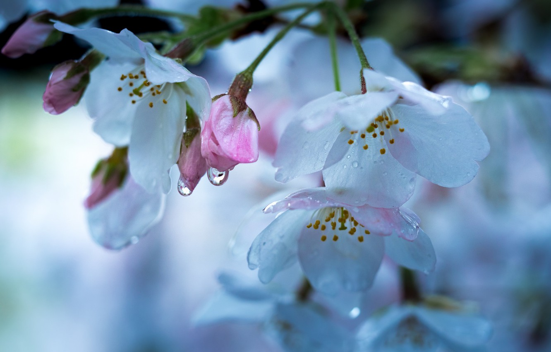 Photo wallpaper drops, macro, cherry, spring