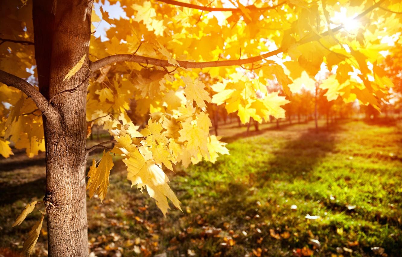 Photo wallpaper autumn, leaves, rays, tree, maple