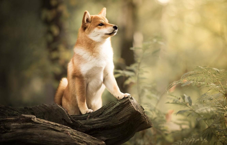 Photo wallpaper forest, dog, snag, bokeh, Shiba inu