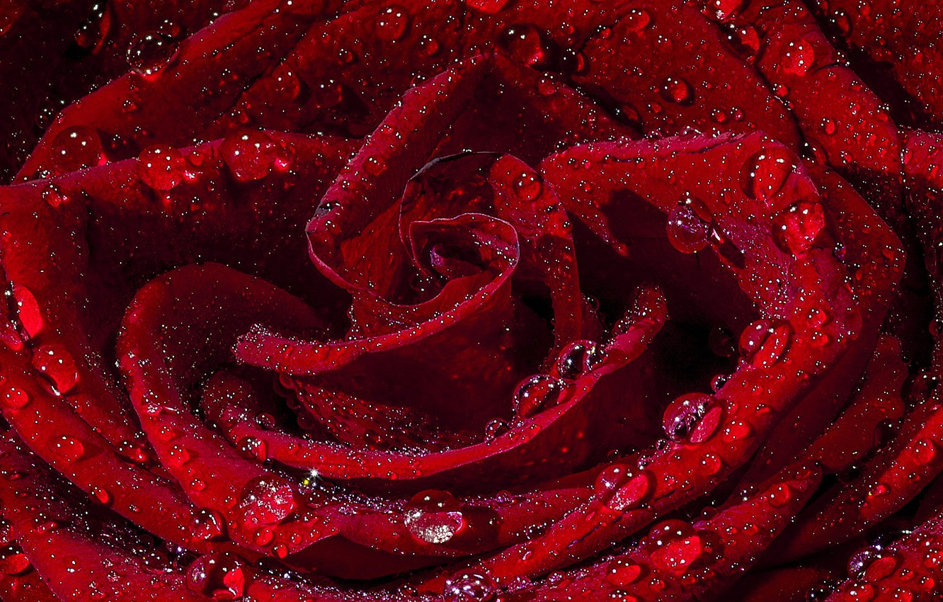 Photo wallpaper drops, rose, red