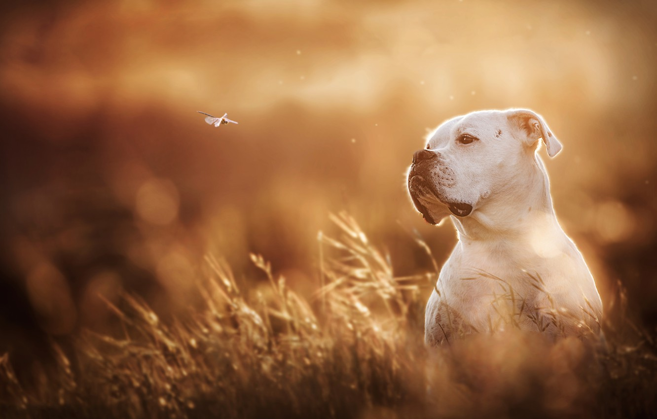 Photo wallpaper white, dog, dragonfly, bokeh, boxer