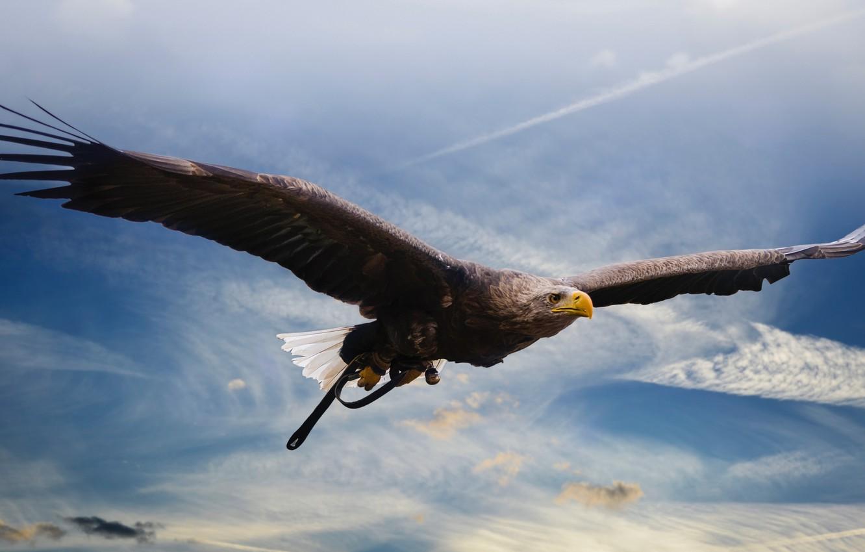 Photo wallpaper birds, predator, flight, eagle