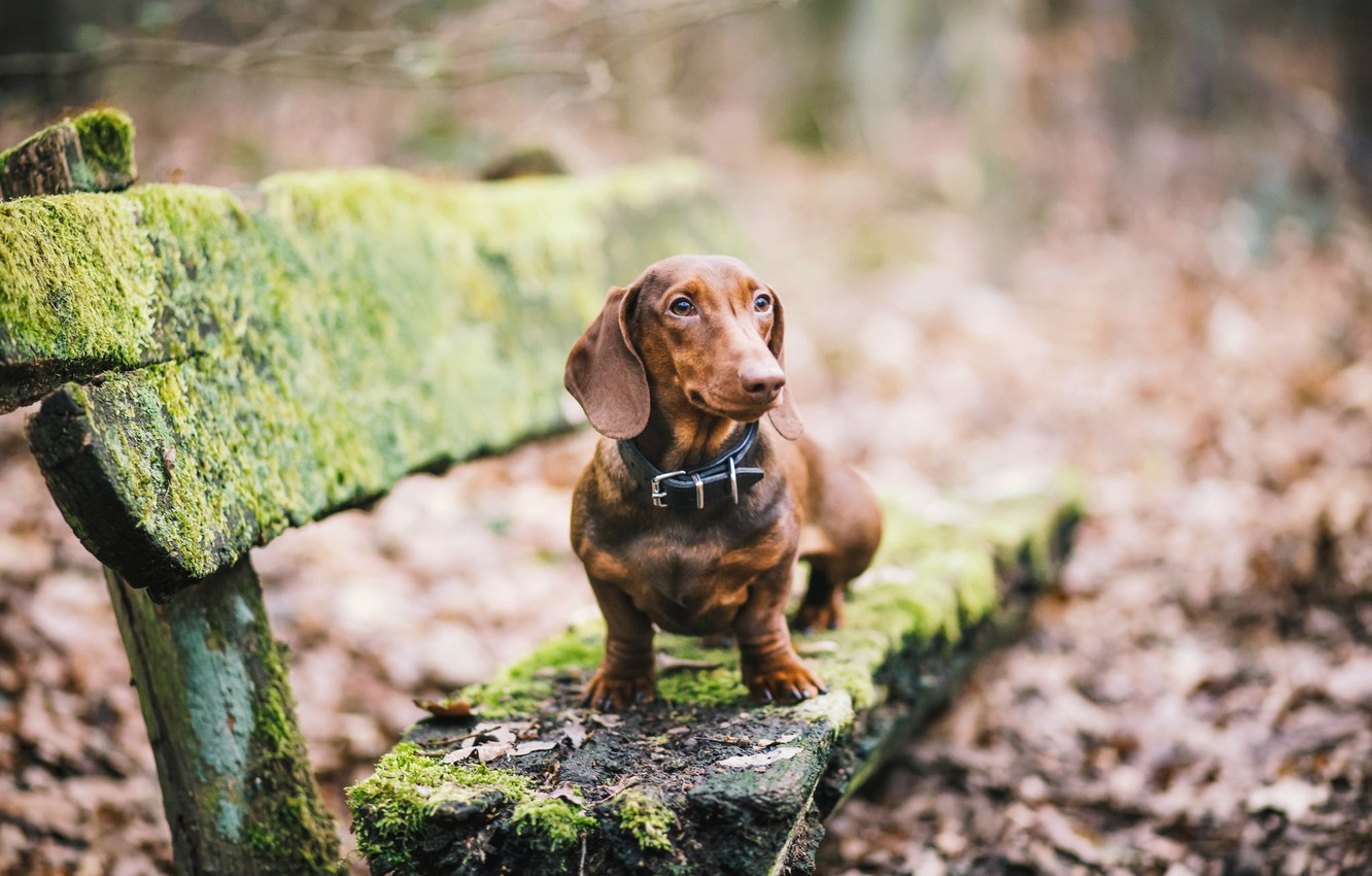 Photo wallpaper look, dog, Dachshund, bench