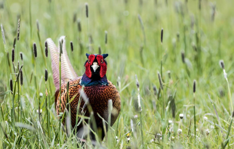 Wallpaper Grass Nature Bird Pheasant Pheasant Images For