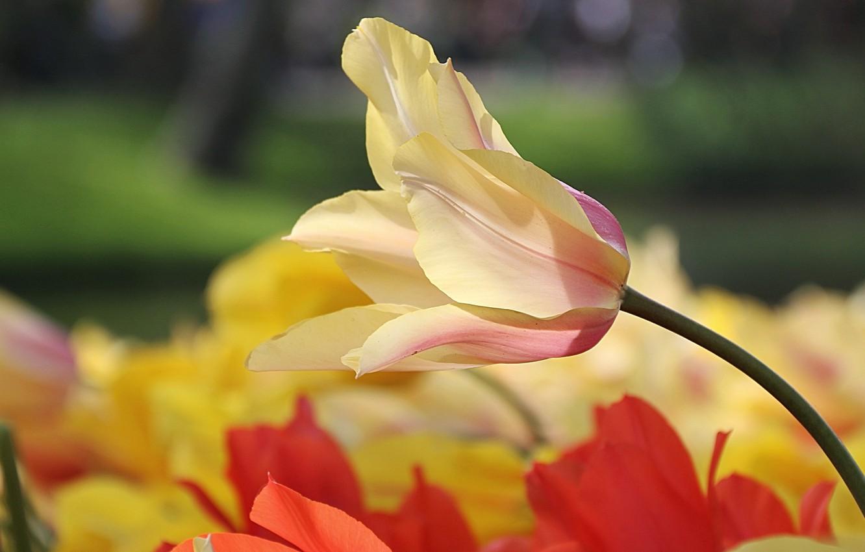 Photo wallpaper macro, Tulip, petals, bokeh