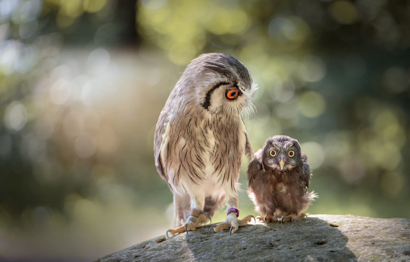 Photo wallpaper look, birds, nature, background, owl, stone, two, small, large, owls, a couple, funny, bokeh, owl, …