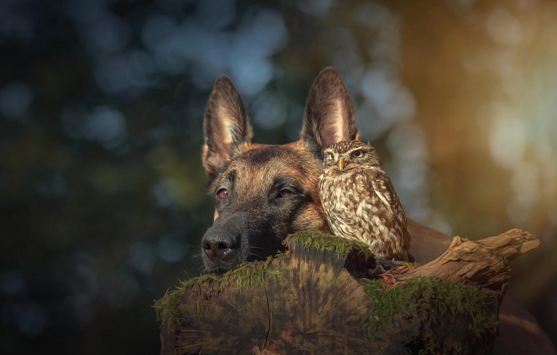 Photo wallpaper animals, nature, background, owl, bird, stump, portrait, dog, friendship, friends, bokeh, Belgian shepherd