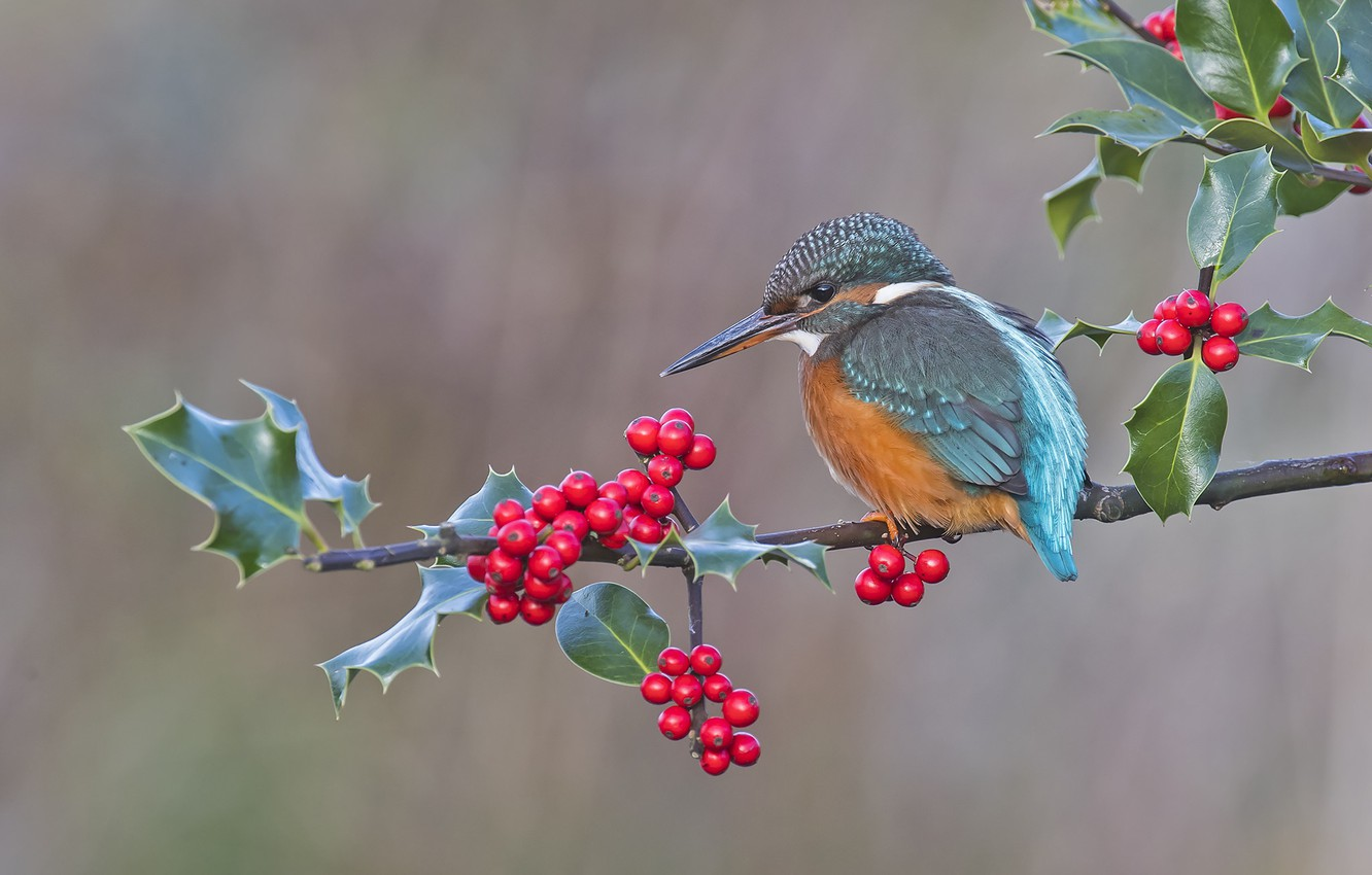 Photo wallpaper berries, background, bird, branch, Kingfisher, Holly, Holly