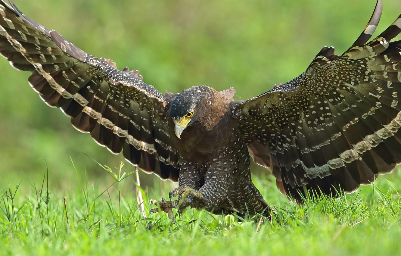 Photo wallpaper flight, nature, bird, eagle, weed