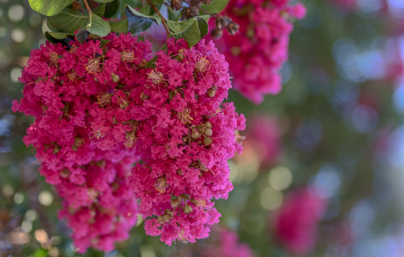 Photo wallpaper nature, petals, inflorescence, Indian lilac, Lagerstroemia Indian