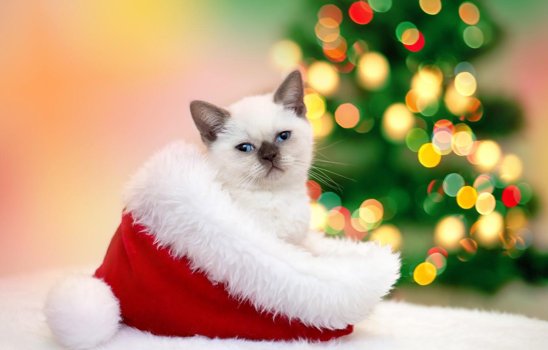 Wallpaper cat, cat, hat, New year, fur, kitty, garland, Christmas