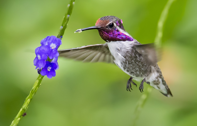 Photo wallpaper macro, flowers, bird, Hummingbird