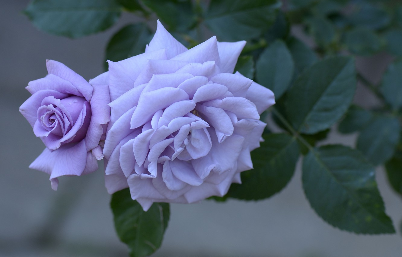 Photo wallpaper flower, macro, rose, Bush, petals, Bud