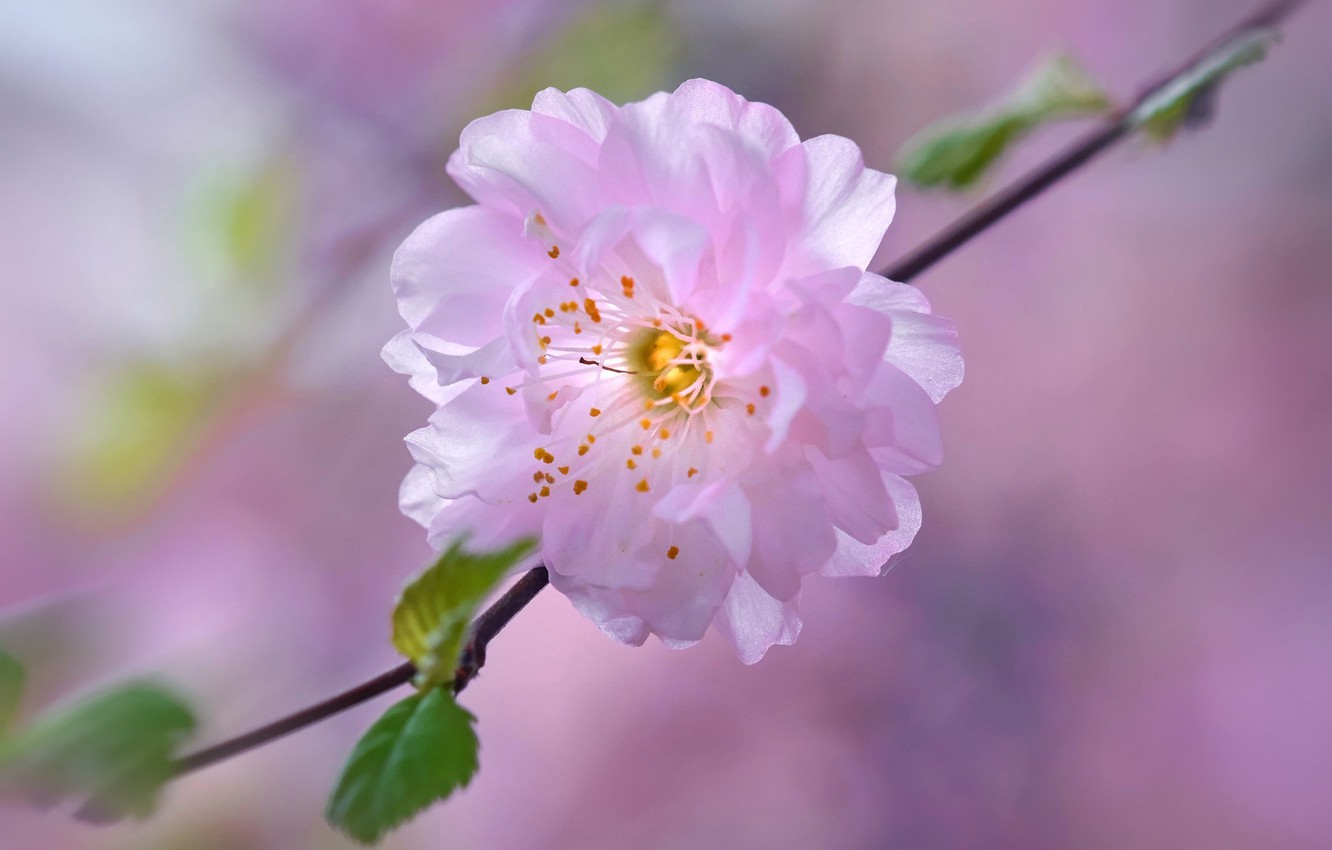 Photo wallpaper flower, cherry, spring, petals, garden, Sakura
