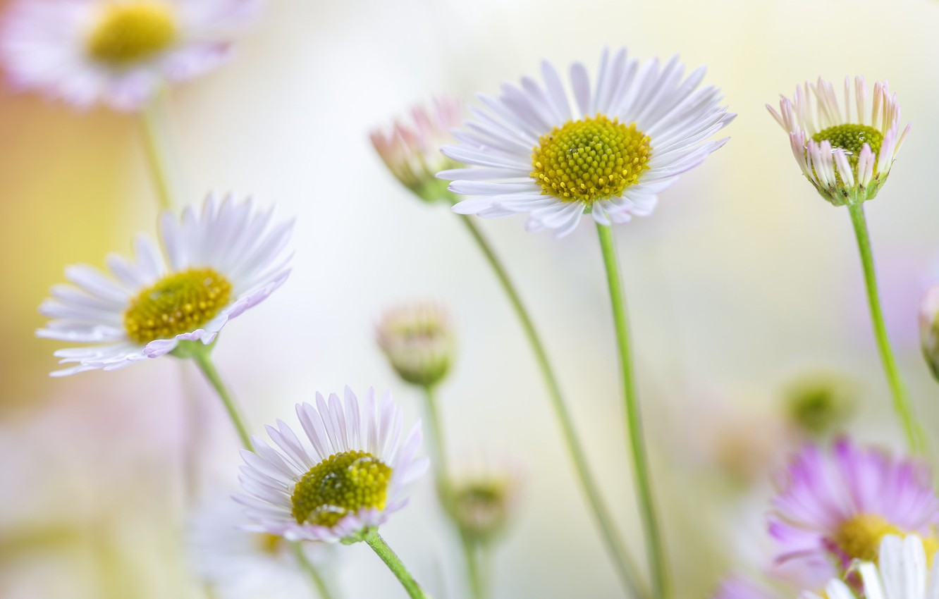 Daisies Bokeh Hd Wallpaper | Best Beach Pictures