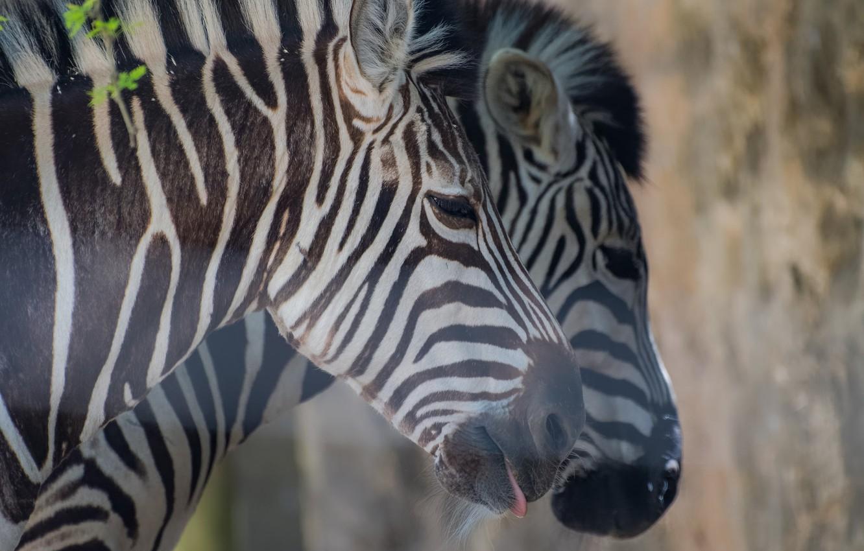 Photo wallpaper pair, Zebra, striped