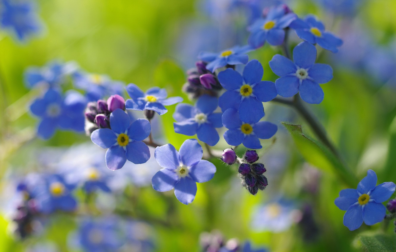 Photo wallpaper macro, joy, flowers, nature, tenderness, beauty, spring, may, primroses, forget-me-nots, cottage, flora, blue color