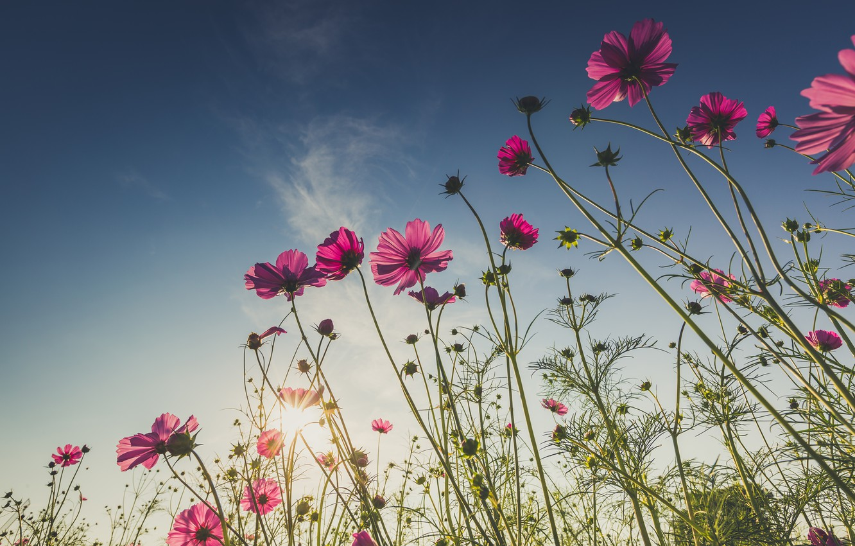 Photo wallpaper field, summer, the sun, flowers, summer, pink, field, pink, flowers, cosmos