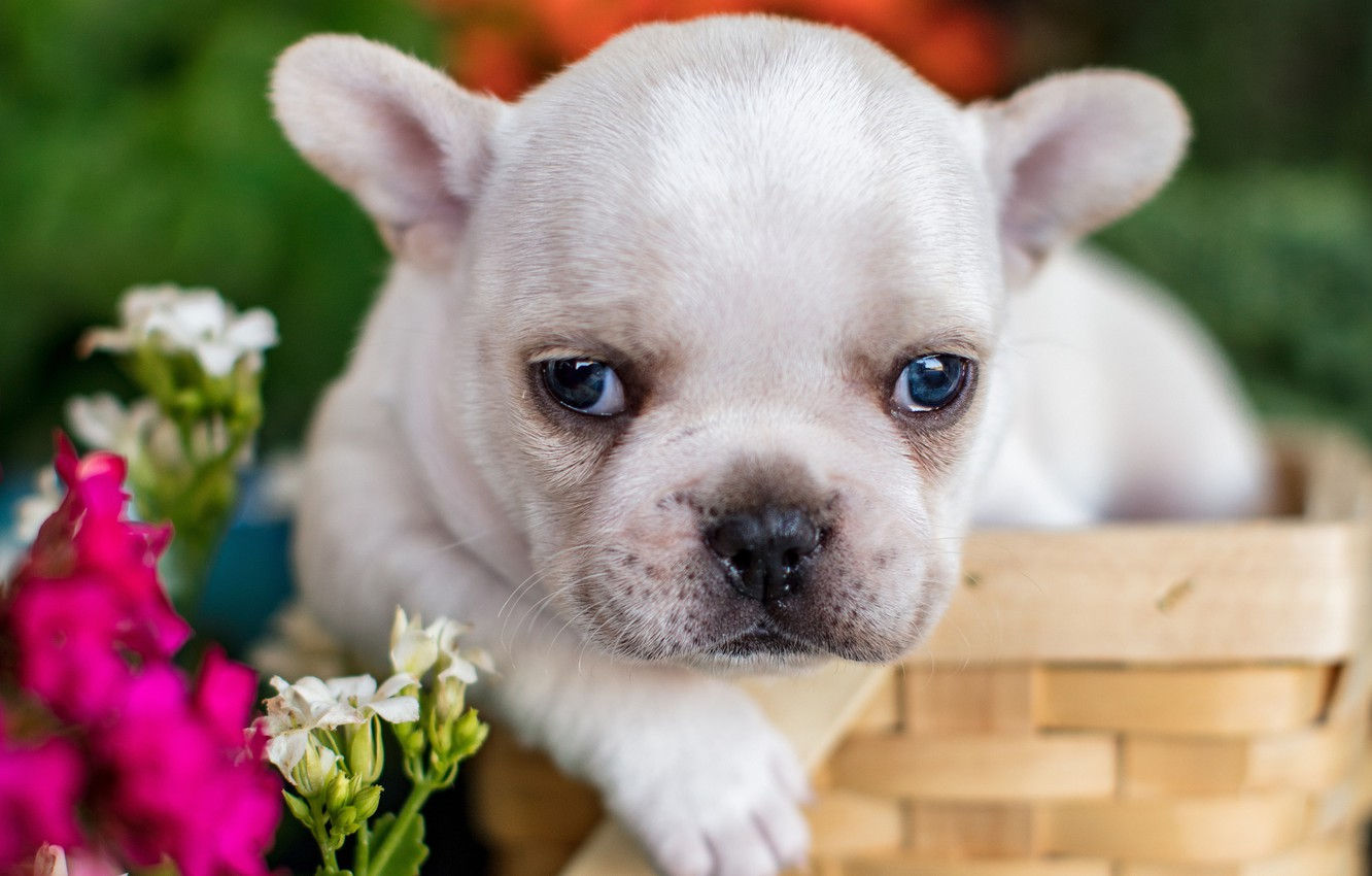 Photo wallpaper look, flowers, basket, baby, puppy, face, French bulldog