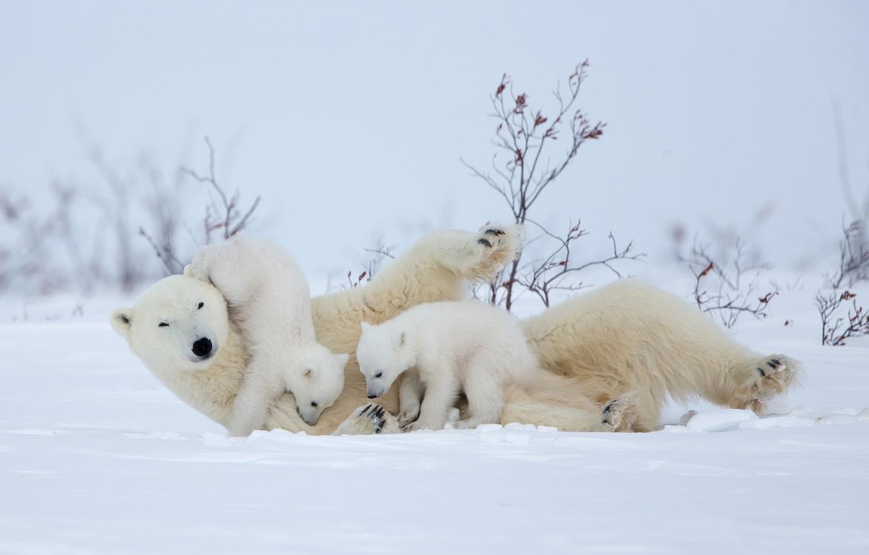 Photo wallpaper winter, snow, the game, bears, polar bears, bear, motherhood, polar bears