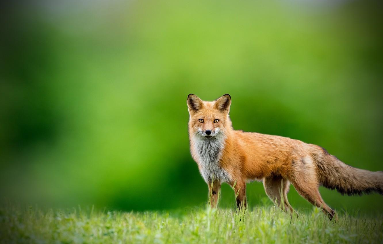 Photo wallpaper look, background, Fox, Fox
