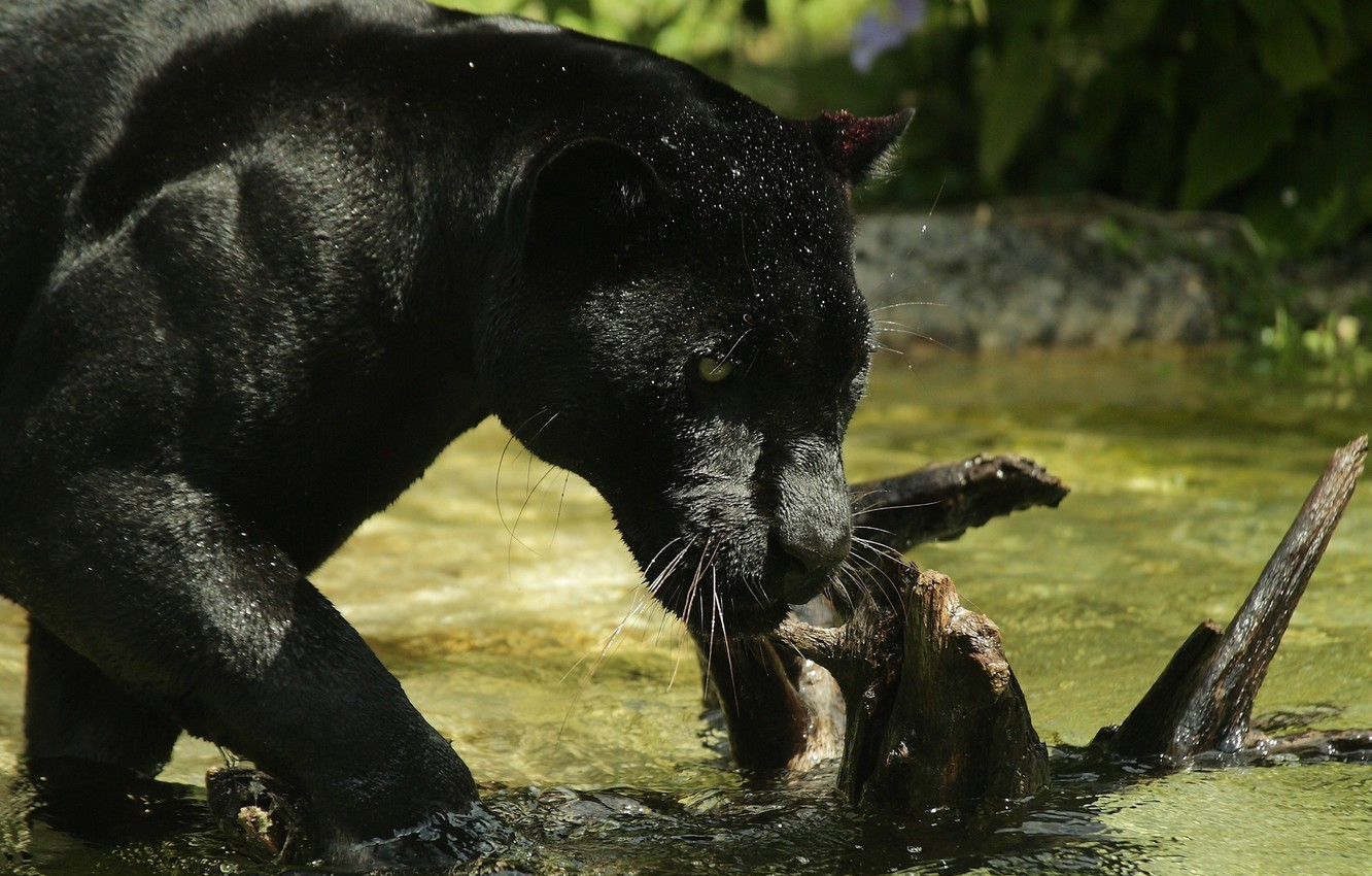 Wallpaper Face Predator Panther Bathing Wild Cat Zoo Black Jaguar Images For Desktop Section Koshki Download