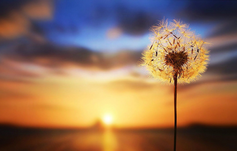 wallpaper sunset dandelion blurred background images for desktop section makro download wallpaper sunset dandelion blurred