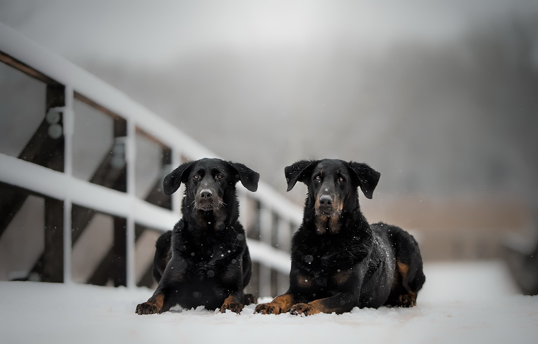 Photo wallpaper winter, dogs, snow