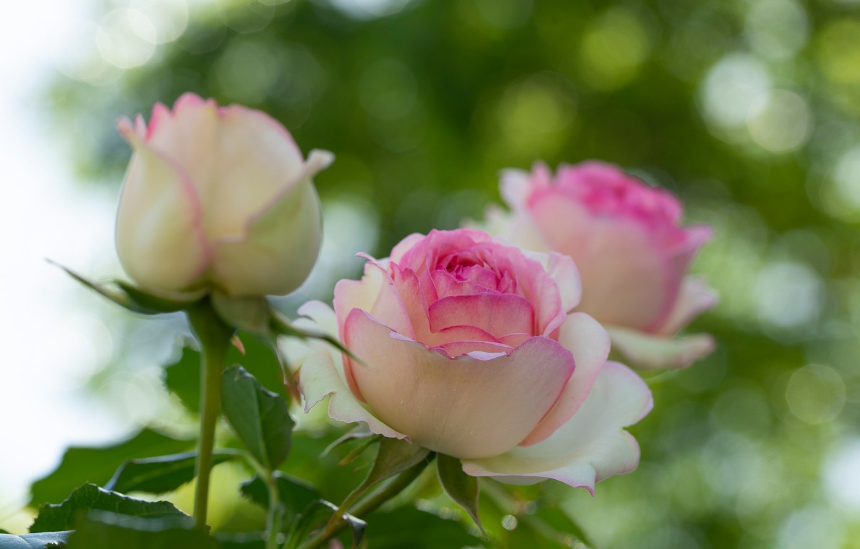 Photo wallpaper macro, glare, roses, buds