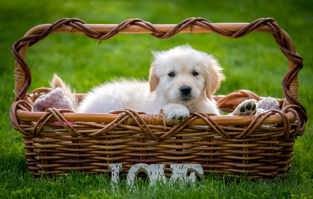 Photo wallpaper Retriever, puppy, basket, grass