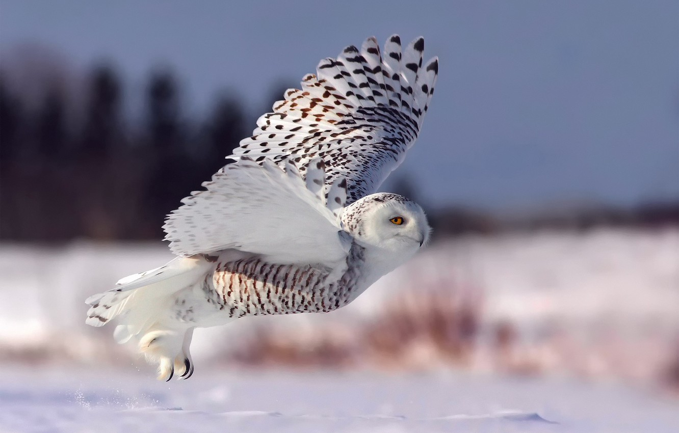 Wallpaper Winter Snow Flight Owl The Rise Snowy Owl