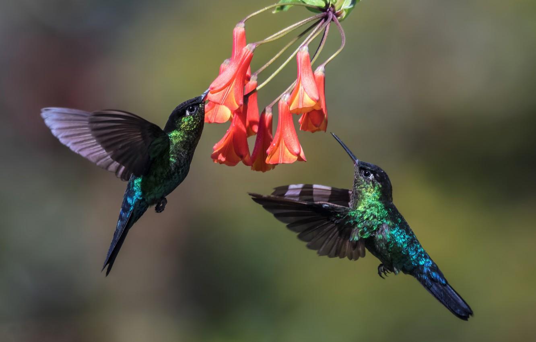 Photo wallpaper birds, Hummingbird, pair, in flight