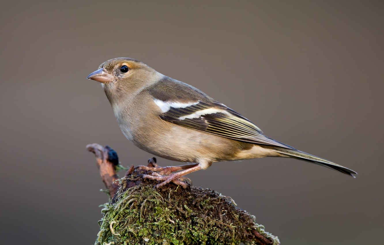 Photo wallpaper birds, female, Chaffinch