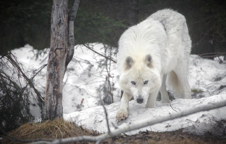 Photo wallpaper snow, wolf, predator, Arctic island wolf