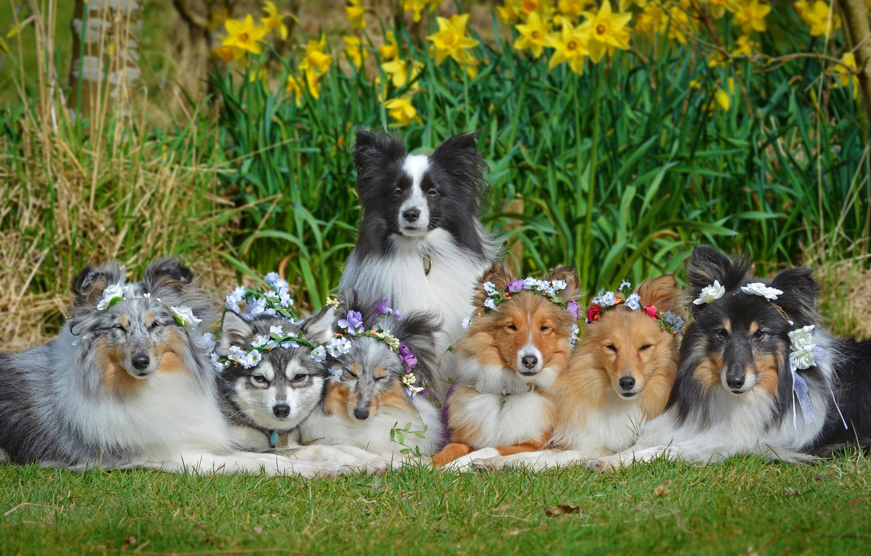 Photo wallpaper dogs, flowers, daffodils, Sheltie, wreaths, The border collie, Shetland Sheepdog, friendly company, Alaskan Klee Kai