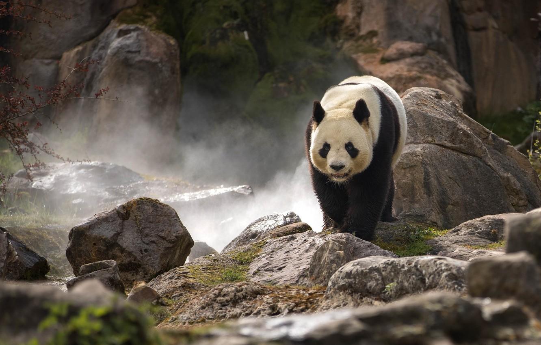 Photo wallpaper stones, rocks, Panda, zoo, bamboo bear