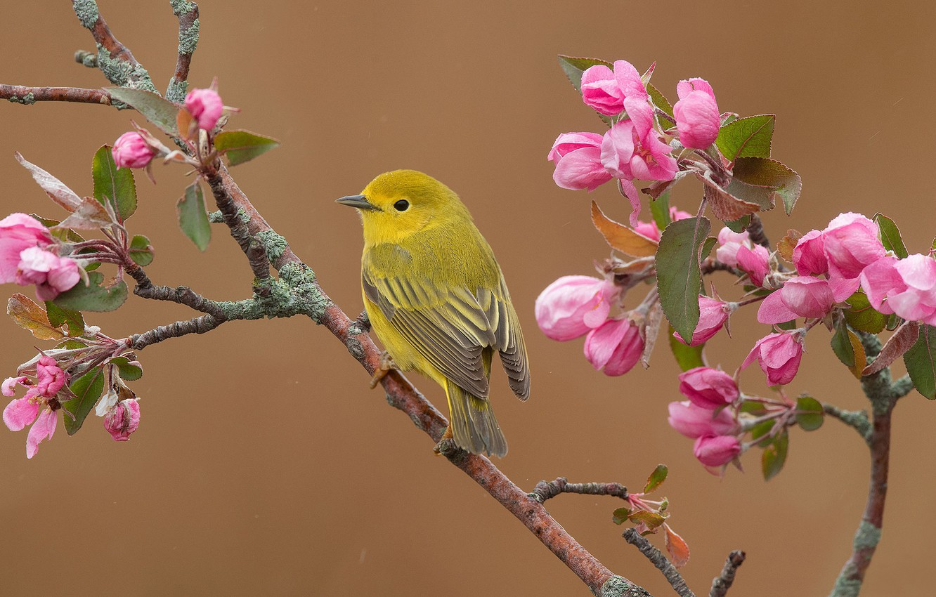 Photo wallpaper branches, background, bird, spring, Apple, flowering, flowers, Yellow drevenica, Golden forest songster