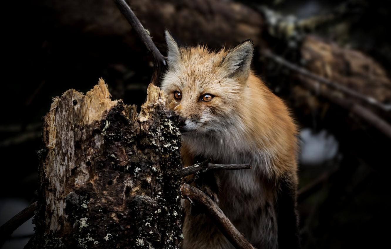 Photo wallpaper forest, wool, Fox