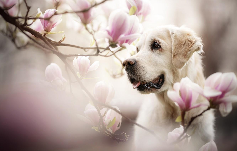 Photo wallpaper face, flowers, branches, portrait, dog, Magnolia