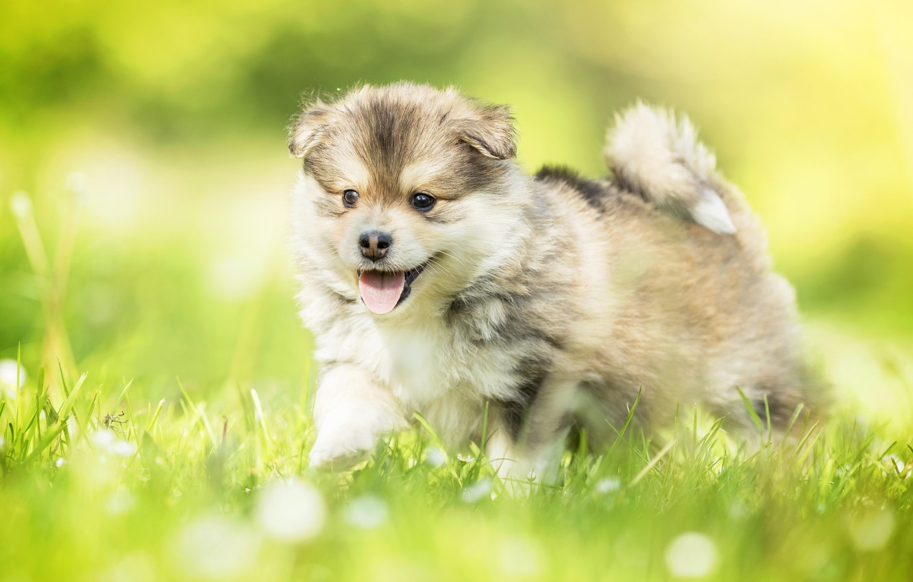 Photo wallpaper grass, dog, baby, puppy, bokeh, Finnish lapphund