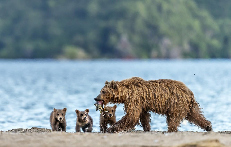 Photo wallpaper fish, bears, bears, bear, catch